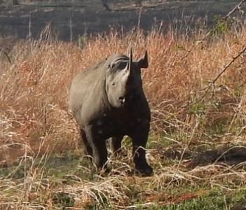 Black Rhino in Hluhluwe