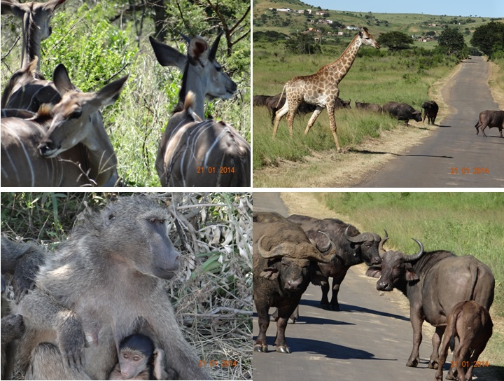 Kudu-Buffalo-Giraffe-Baboons hanging out at Keiths Pan Hluhluwe Section of Hluhluwe Umfolozi game reserve