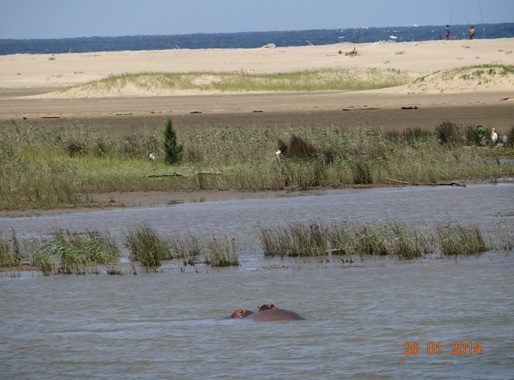 Hippos in the St Lucia Estuary
