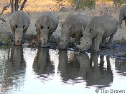 White Rhinos Drinking