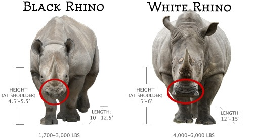 Comparison between the White and Black Rhino