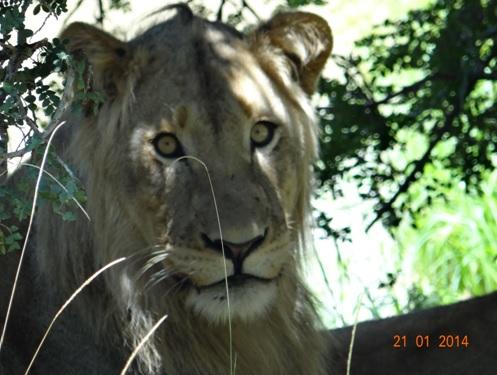 Young Male Lion resting under an acacia tree at Bhekaphanzi Pan Umfolozi section of Hluhluwe Umfolozi Game reserve