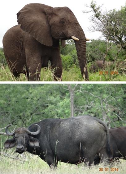 Elephant and Buffalo of Hluhluwe Umfolozi Game reserve Durban Safaris&Tours