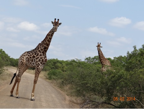 Giraffe in Hluhluwe Umfolozi game reserve on our Durban Day Safari Tour