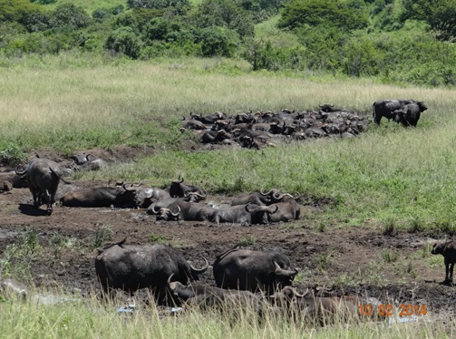 Herd of Buffalo in a mud wallow in Hluhluwe Umfolozi Game reserve on our 3 Day Durban Safari Tour