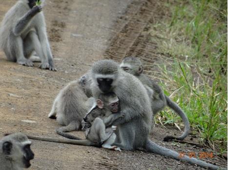 Hluhluwe Umfolozi Vervet Monkeys Embrace