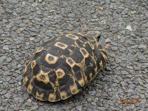 Leopard Tortoise of Hluhluwe Umfolozi Game reserve Durban Safari Tours