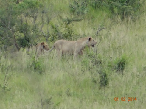 Lions in Hluhluwe Umfolozi game reserve