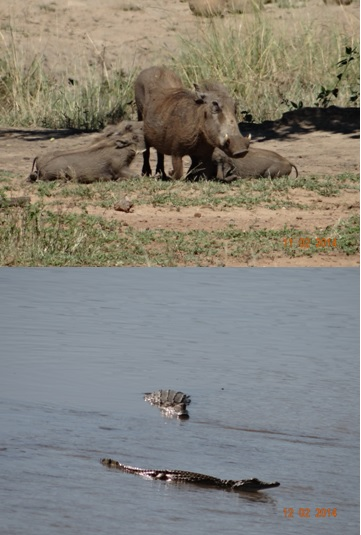 Warthogs suckling and baby crocodiles in the Umfolozi river on our Durban 3 day Safari Tour