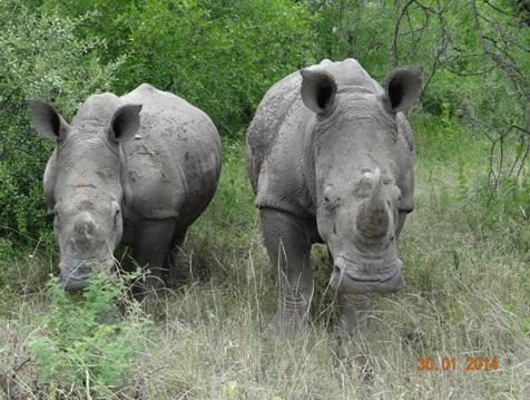 White Rhinos of Hluhluwe Umfolozi Game reserve