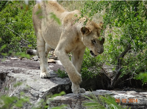 Young Lioness on the Rock at Mphafa hide parking lot Hluhluwe umfolozi game reserve