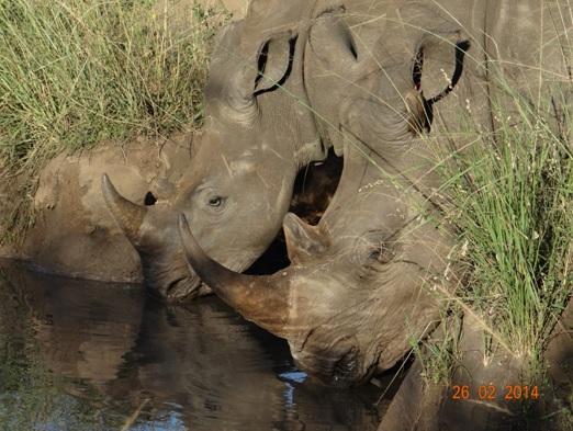 2 White Rhinos Drinking in Hluhluwe Umfolozi Game reserve on our 3 Day Durban Safari Tour
