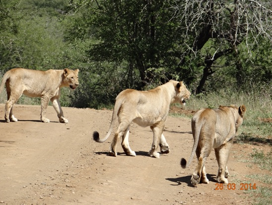 3 Lionesses crossing the road in front of our vehicle on our Durban 5 Day Safari Tour to Hluhluwe umfolozi game reserve