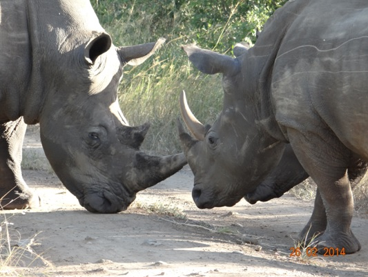 3 White Rhinos Nose to Nose in  Hluhluwe Umfolozi Game reserve on our 3 Day Durban Safari Tour