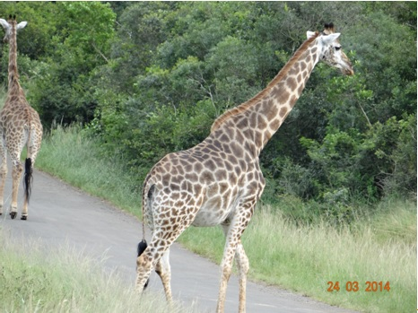 A Journey of Giraffe on the road on our Durban 5 Day Safari Tour to Hluhluwe umfolozi game reserve