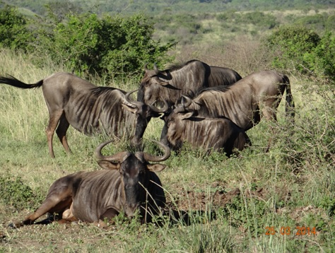 A crazy herd of Wildebeest on our Durban 5 Day Safari Tour to Hluhluwe umfolozi game reserve