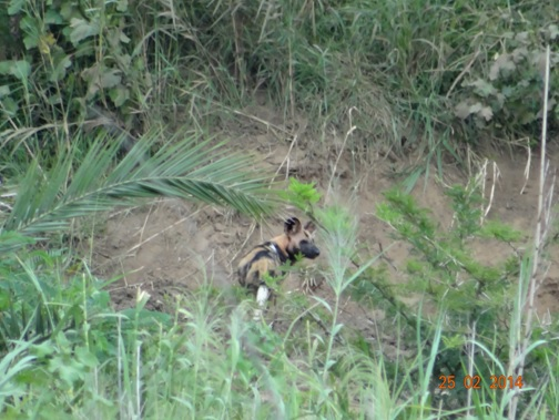 African Wild dog on our 3 Day Durban Day Safari Tour to Hluhluwe Umfolozi Game reserve
