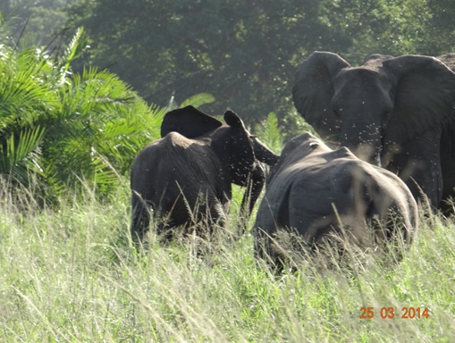 Baby Elephant gets chased by a Bull White Rhino on our Durban 5 Day Safari Tour to Hluhluwe umfolozi game reserve