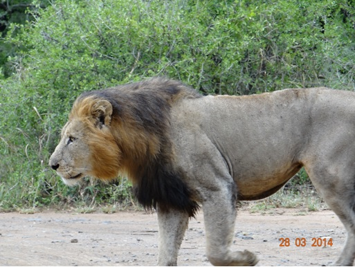 Big Male Lion marking his territory on our Durban 5 Day Safari Tour to Hluhluwe umfolozi game reserve