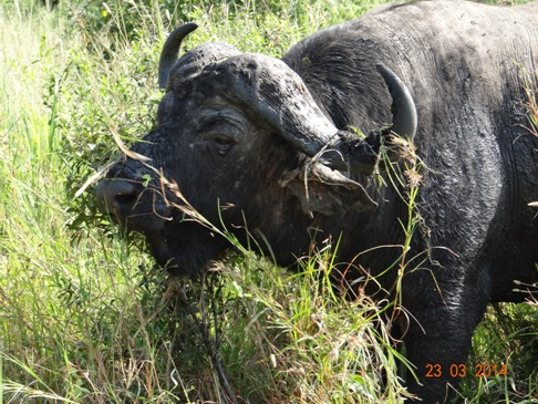 Buffalo Bull on our Durban 2 Day Safari Tour to Hluhluwe Umfolozi Game reserve and St Lucia Isimangeliso Wetland Park