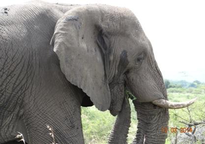 Bull Elephant on our Durban 2 Day Safari Tour to Hluhluwe Umfolozi game reserve