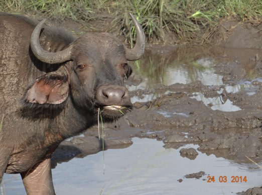 Cheeky Buffalo Cow in a mud wallow on our Durban 5 Day Safari Tour to Hluhluwe umfolozi game reserve