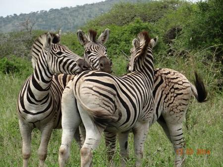 Dazzle of Zebra on our Durban 2 Day Safari Tour to Hluhluwe Umfolozi game reserve