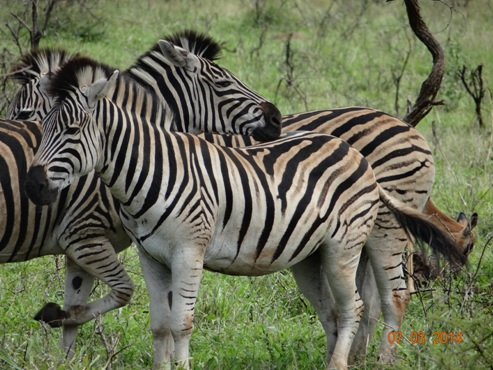 Dazzle of Zebra on our Durban Day Safari Tour to Hluhluwe umfolozi game reserve 7 March 2014