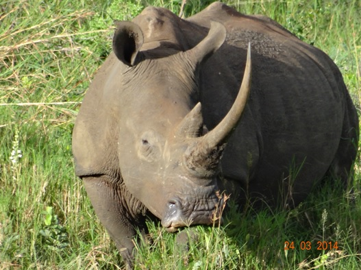 Female White Rhino poses on our Durban 5 Day Safari Tour to Hluhluwe umfolozi game reserve