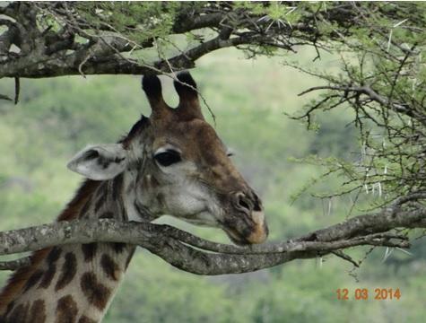Giraffe on our Durban 2 Day Safari Tour to Hluhluwe Umfolozi game reserve