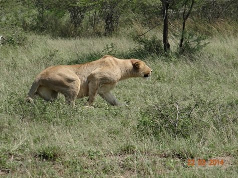 Lioness Stalking Warthog in Umfolozi on our Durban 2 Day Safari Tour to Hluhluwe Umfolozi Game reserve and St Lucia Isimangeliso Wetland Park