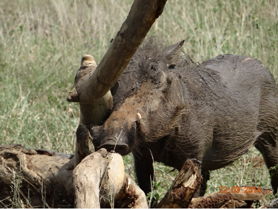 Muddy Warthog Rubbing on a log on our Durban 2 Day Safari Tour to Hluhluwe Umfolozi Game reserve and St Lucia Isimangeliso Wetland Park