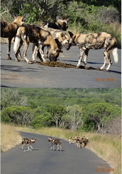 Pack of African Wild Dogs in Hluhluwe Umfolozi Game reserve on our 3 Day Durban Safari Tour
