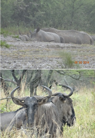 Rhino and Wildebeest at Hluhluwe Umfolozi game reserve on our Durban Day Safari Tour 5th March 2014