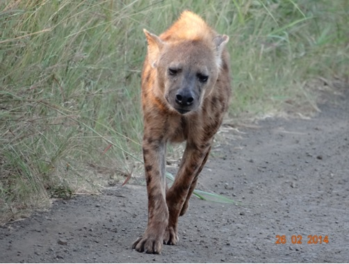 Spotted Hyena in Hluhluwe Umfolozi Game reserve on our 3 Day Durban Safari Tour