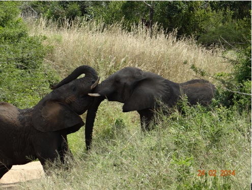 Two Male Elephants play fighting on our 3 Day Durban Day Safari Tour to Hluhluwe Umfolozi game reserve