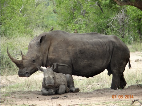 White Rhino Mother and Calf of our Durban Day Safari Tour to Hluhluwe umfolozi game reserve 7 March 2014
