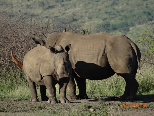 White Rhino Mother and calf on our Durban 5 Day Safari Tour to Hluhluwe umfolozi game reserve