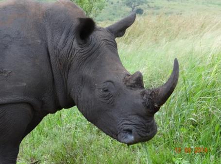 White Rhino on our Durban 2 Day Safari Tour to Hluhluwe Umfolozi game reserve