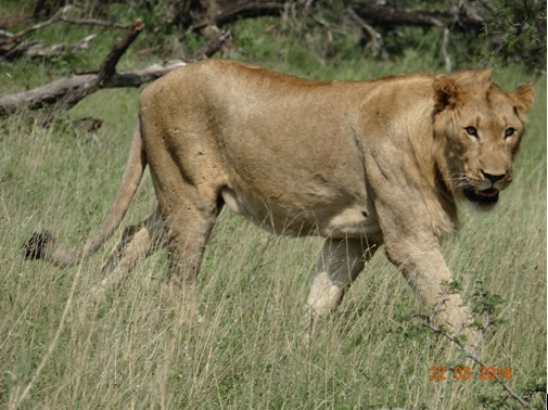 Young Male Lion in Umfolozi on our Durban 2 Day Safari Tour to Hluhluwe Umfolozi Game reserve and St Lucia Isimangeliso Wetland Park