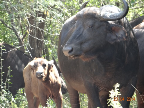 Buffalo with her calf on our Easter 2014 Durban Day Safari Tour to Hluhluwe Umfolozi Game reserve