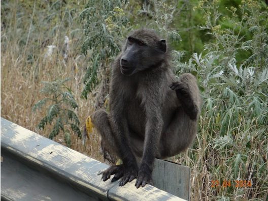 Chacma Baboon scratching himself on our Durban 2 Day Safari Tour to Hluhluwe Umfolozi game reserve