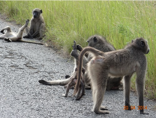 Chacma Baboons play in the road on our Easter 2014 Durban Day Safari Tour to Hluhluwe Umfolozi Game reserve