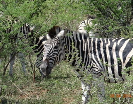 Dazzle of Zebra pose on our Durban Big 5 Day Safari Tour to Hluhluwe Umfolozi game reserve