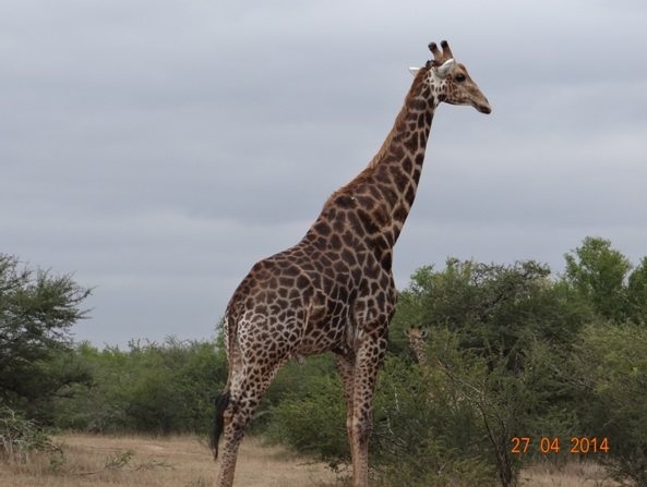 Giraffe Bull on our Durban 2 Day Safari Tour to Hluhluwe Umfolozi game reserve