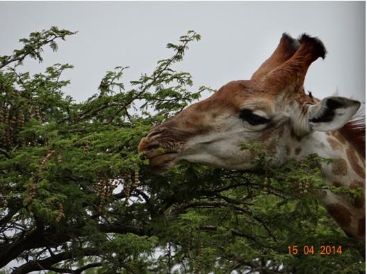 Giraffe on our Durban day Safari tour to Tala game reserve