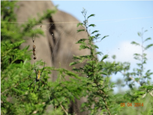 Golden Orb Spider takes the focus away from an Elephant behind her on our Durban Big 5 Day Safari Tour to Hluhluwe Umfolozi game reserve