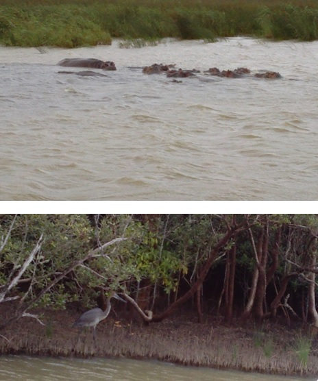 Hippos and Goliath Heron at St Lucia Isimangeliso Wetland Park on our Durban 2 Day Safari Tour