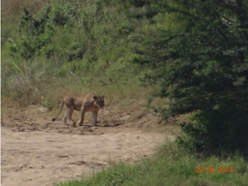 Lioness Crossing the sand bank in the Umfolozi River on our Easter 2014 Durban Day Safari Tour to Hluhluwe Umfolozi Game reserve