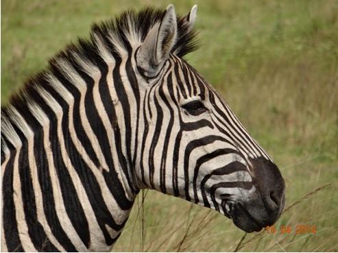 Plains Zebra in Tala private game reserve on our Durban Day Safari Tour
